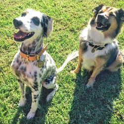 LIAISON DOG COLLAR & TAG SMALL